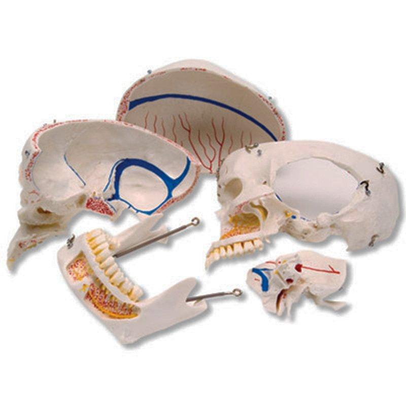 Craniu Uman A 27