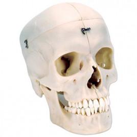Craniu Uman A 28