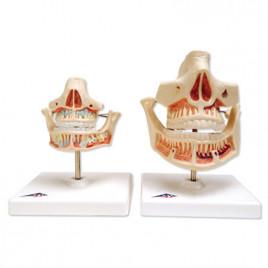 Dentitia Adultului