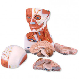 Musculatura Capului Si A Gatului